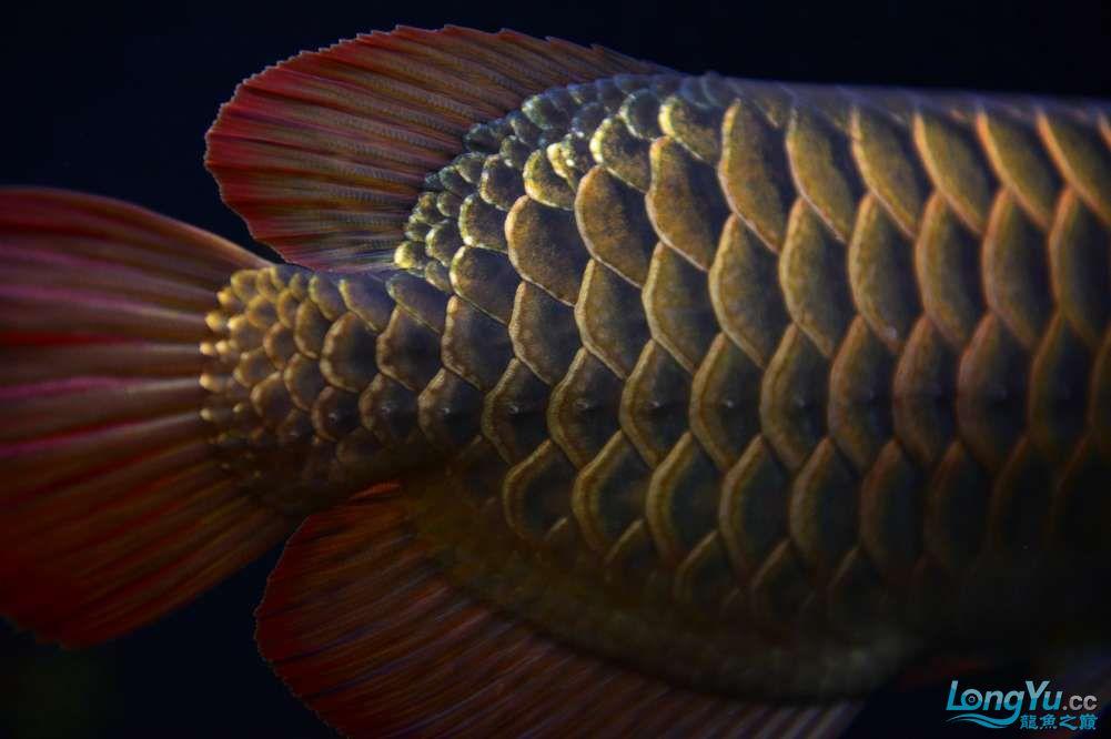 还是赤血还有他的伙伴 乌鲁木齐龙鱼论坛 乌鲁木齐龙鱼第20张