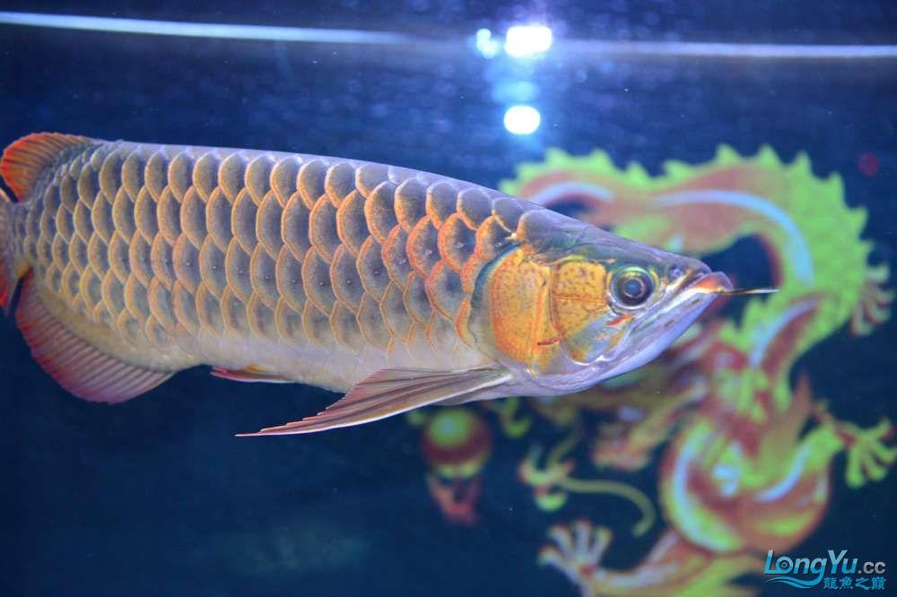 还是赤血还有他的伙伴 乌鲁木齐龙鱼论坛 乌鲁木齐龙鱼第32张