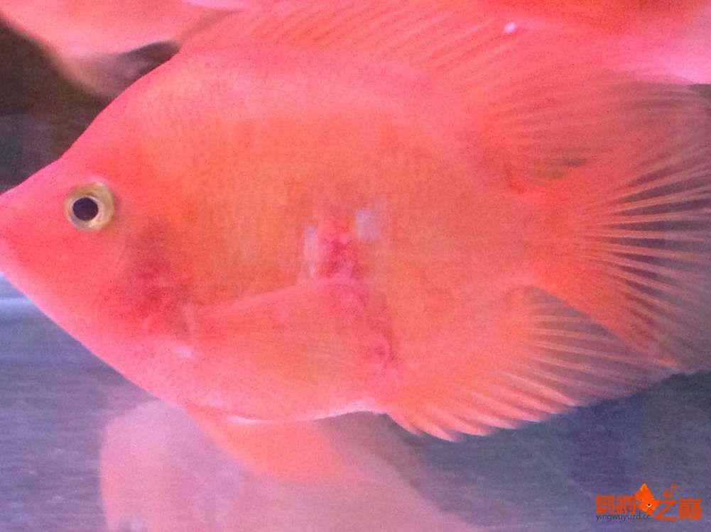 西宁观赏鱼金刚鹦鹉治疗帖 西宁龙鱼论坛 西宁龙鱼第4张