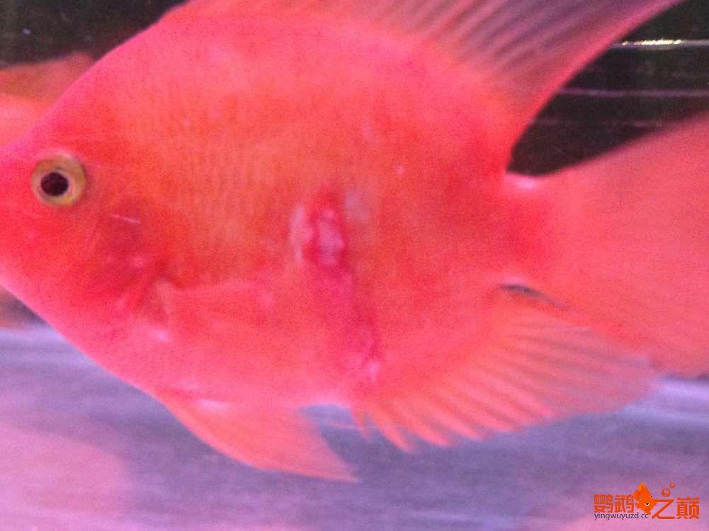 西宁观赏鱼金刚鹦鹉治疗帖 西宁龙鱼论坛 西宁龙鱼第3张