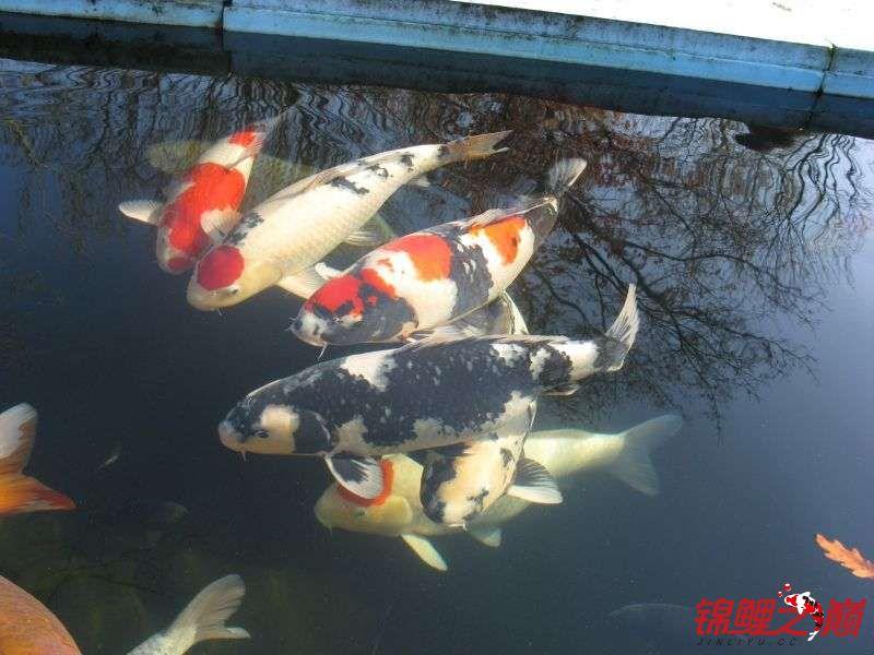 好久没有来了带来锦鲤大家欣赏下 天津龙鱼论坛 天津龙鱼第1张