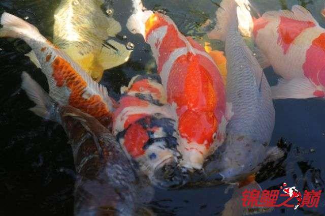 好久没有来了带来锦鲤大家欣赏下 天津龙鱼论坛 天津龙鱼第3张