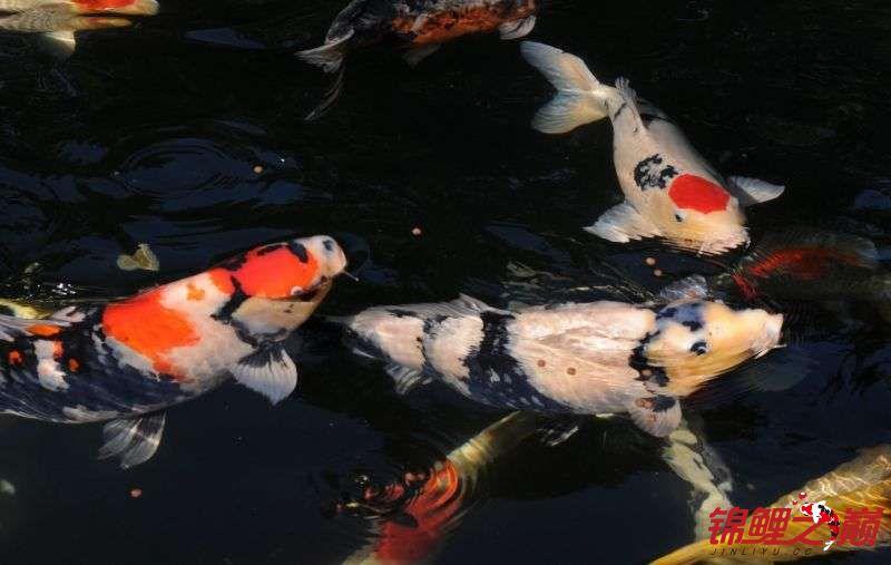 好久没有来了带来锦鲤大家欣赏下 天津龙鱼论坛 天津龙鱼第7张