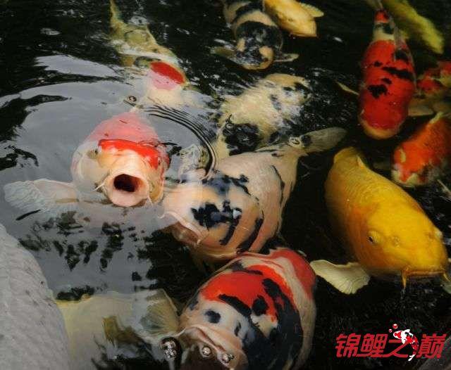 好久没有来了带来锦鲤大家欣赏下 天津龙鱼论坛 天津龙鱼第6张