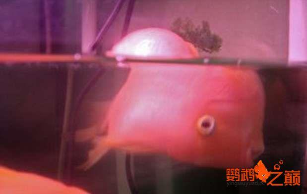 鹦鹉鱼腹水5.jpg