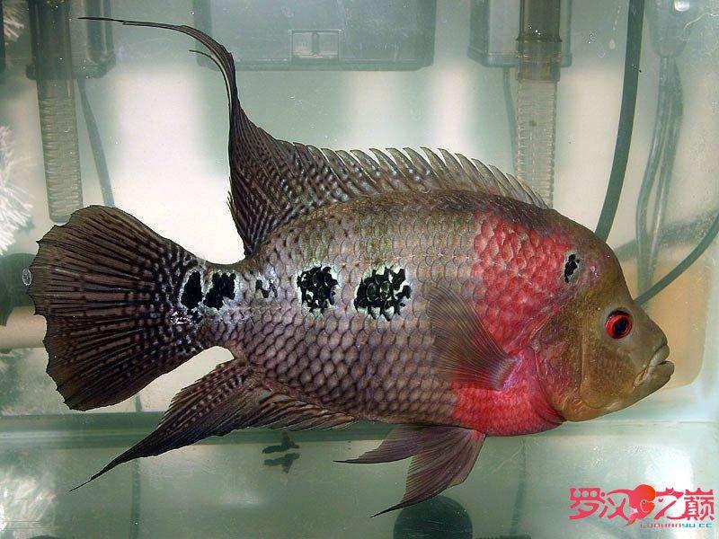 我叫小彩你们喜欢我嘛? 合肥观赏鱼 合肥龙鱼第1张
