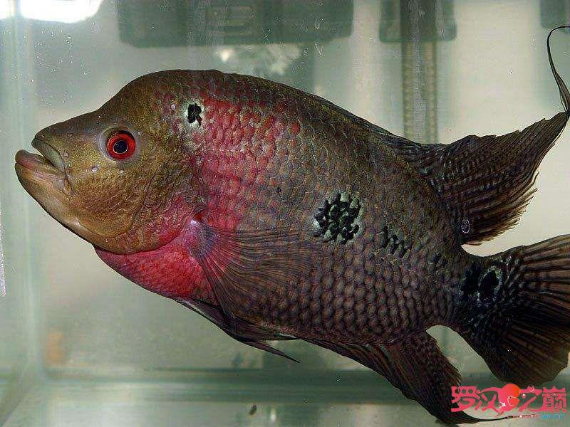 我叫小彩你们喜欢我嘛? 合肥观赏鱼 合肥龙鱼第2张