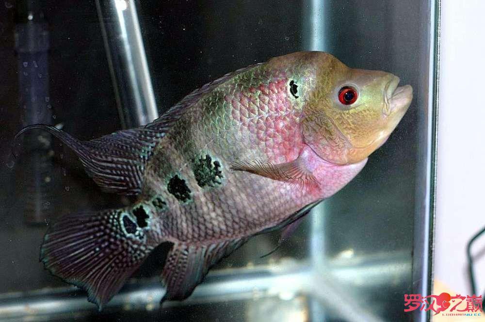 我叫小彩你们喜欢我嘛? 合肥观赏鱼 合肥龙鱼第3张