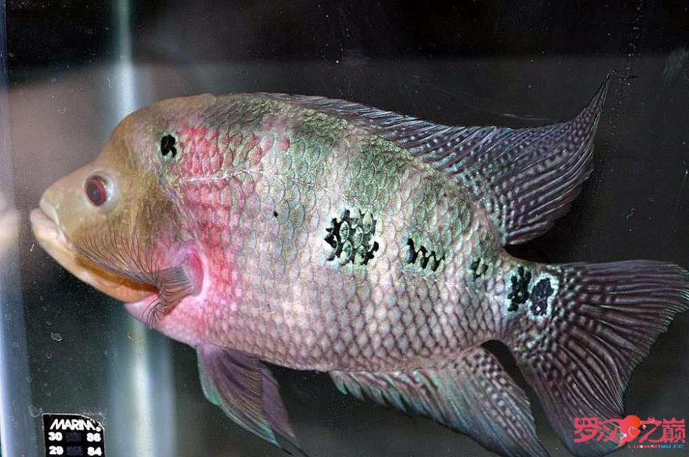 我叫小彩你们喜欢我嘛? 合肥观赏鱼 合肥龙鱼第4张