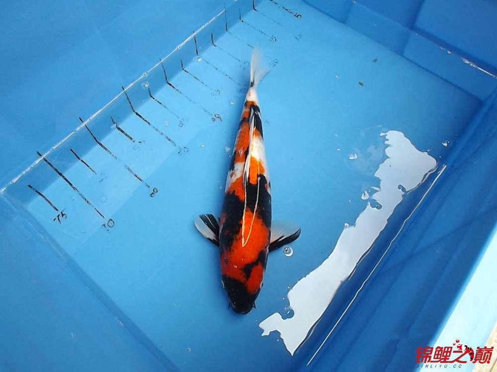 A1号母鱼大日昭和3岁.jpg
