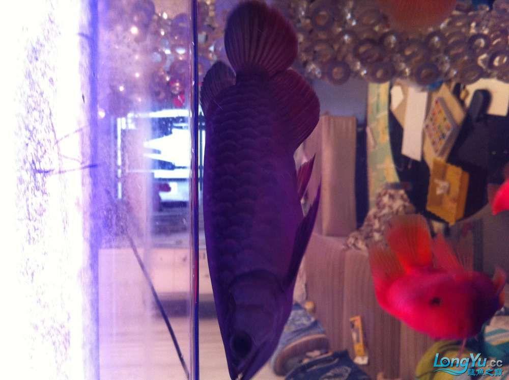 五一乐悠悠龙祥渔场金龙来+51一天看看小龙就过了 深圳观赏鱼 深圳龙鱼第2张