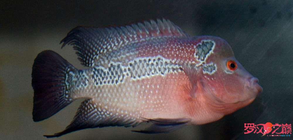 大神们看看我的小罗是什么品种 绵阳龙鱼论坛 绵阳水族批发市场第1张