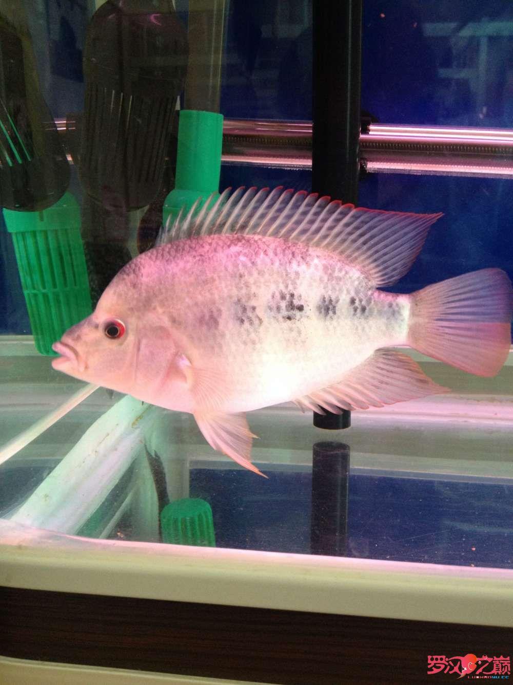 请大家帮忙鉴定一下南通鱼缸定做定制是否能起头是否是雌鱼谢谢 观赏鱼常见疾病 南通水族批发市场第4张
