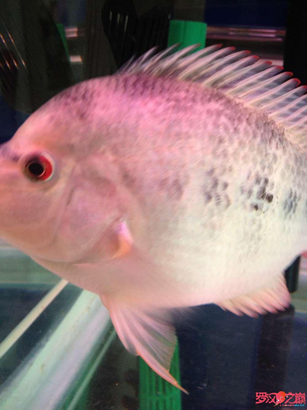请大家帮忙鉴定一下南通鱼缸定做定制是否能起头是否是雌鱼谢谢 观赏鱼常见疾病 南通水族批发市场第3张