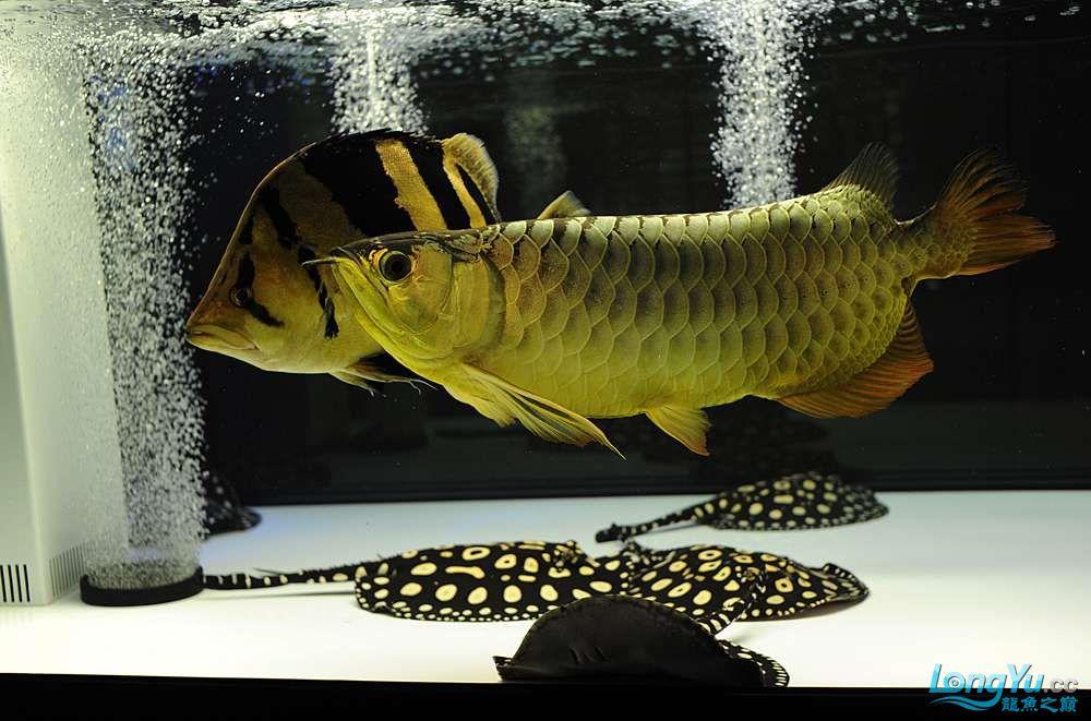 混养——你永远是缸中的主角 渭南水族批发市场 渭南龙鱼第5张