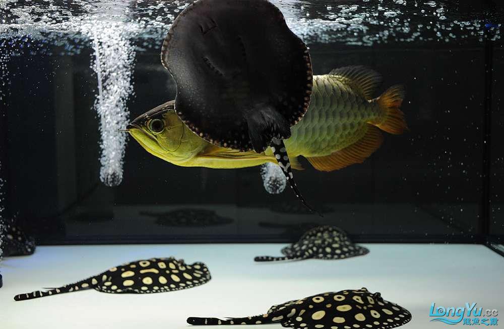 混养——你永远是缸中的主角 渭南水族批发市场 渭南龙鱼第10张
