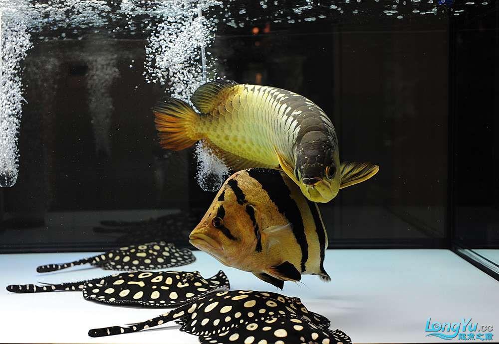 混养——你永远是缸中的主角 渭南水族批发市场 渭南龙鱼第25张