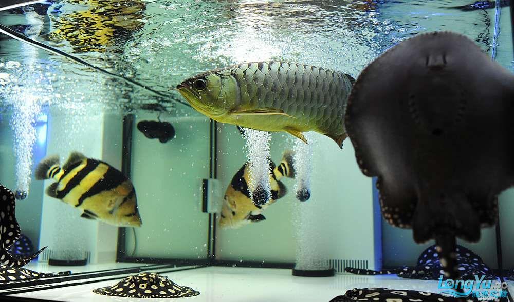 混养——你永远是缸中的主角 渭南水族批发市场 渭南龙鱼第28张