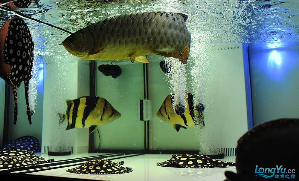 混养——你永远是缸中的主角 渭南水族批发市场 渭南龙鱼第30张