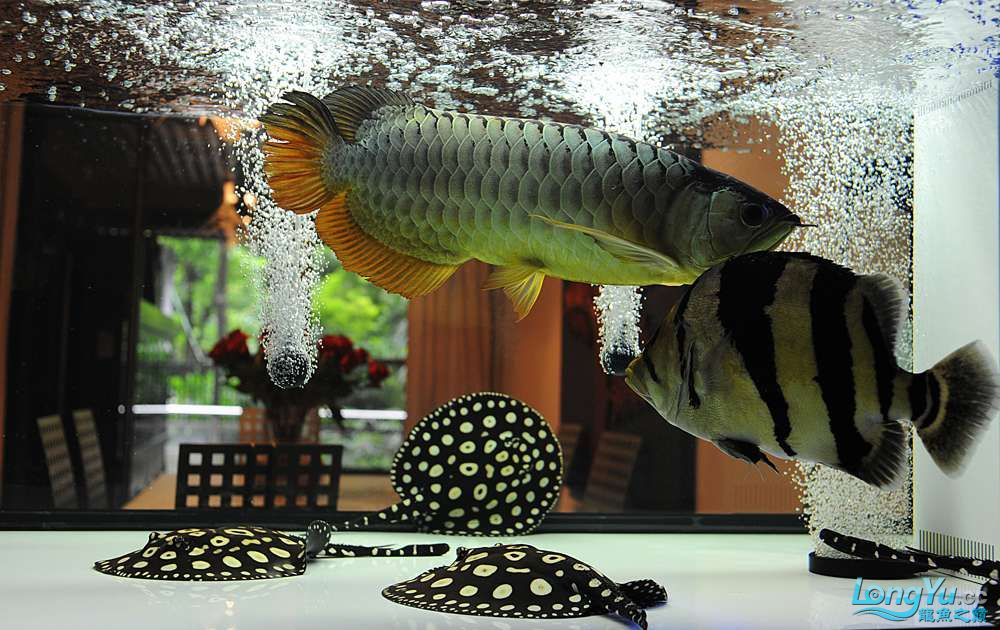 混养——你永远是缸中的主角 渭南水族批发市场 渭南龙鱼第32张