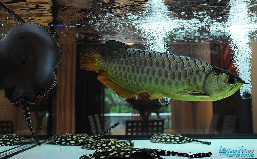 混养——你永远是缸中的主角 渭南水族批发市场 渭南龙鱼第45张