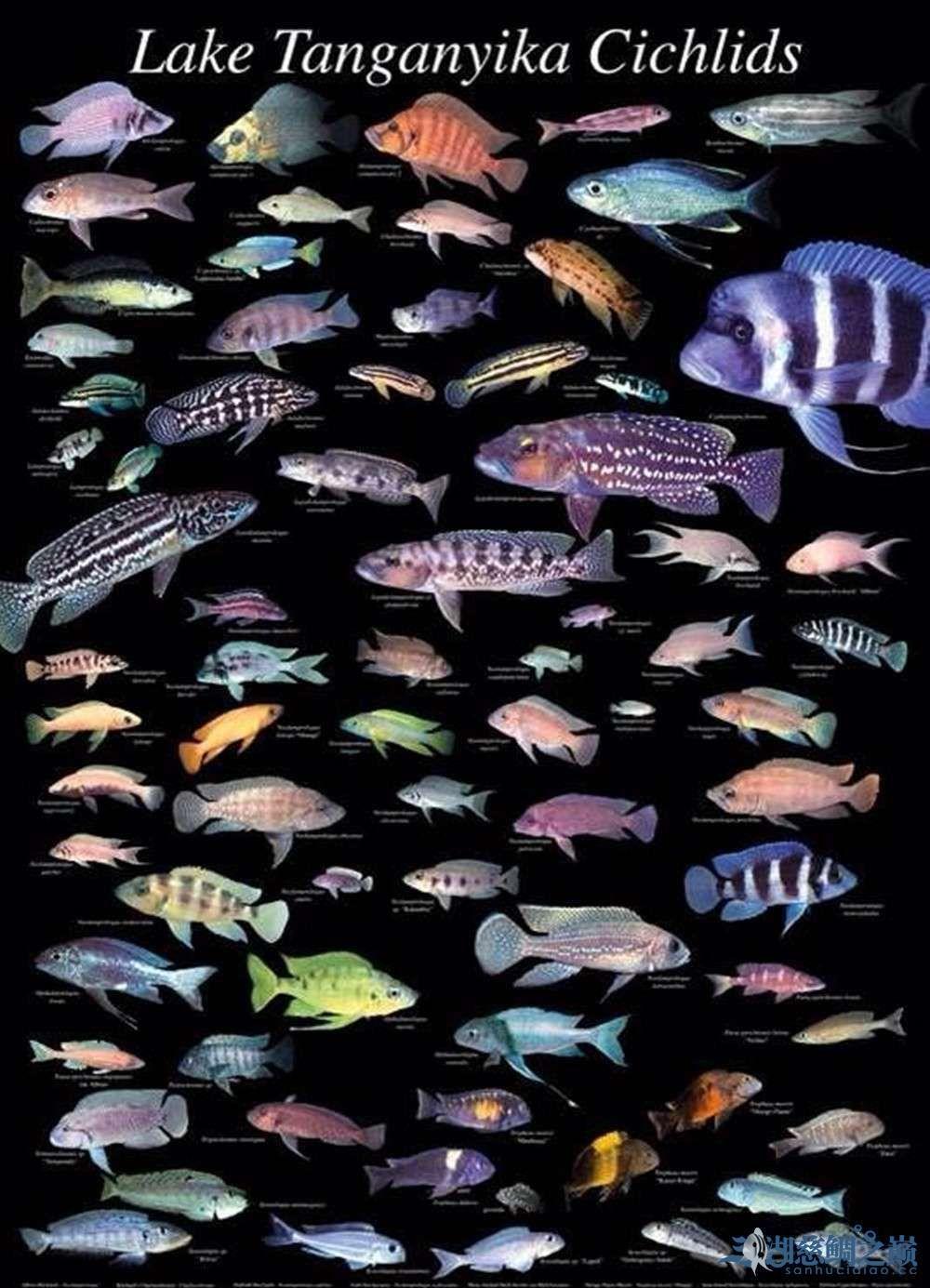 三湖慈鲷连环缸组缸极致 南充观赏鱼 南充水族批发市场第5张