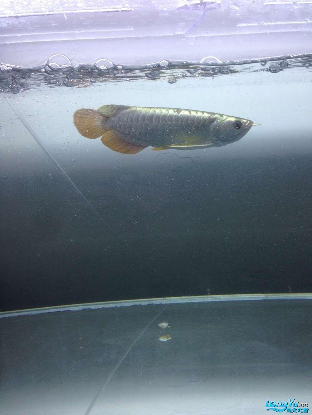 帮忙看看这龙鱼是什么品种和好不好谢谢 达州龙鱼论坛 达州水族批发市场第2张