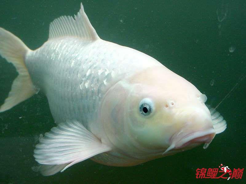 锦鲤鱼的周末生活 烟台观赏鱼 烟台龙鱼第3张