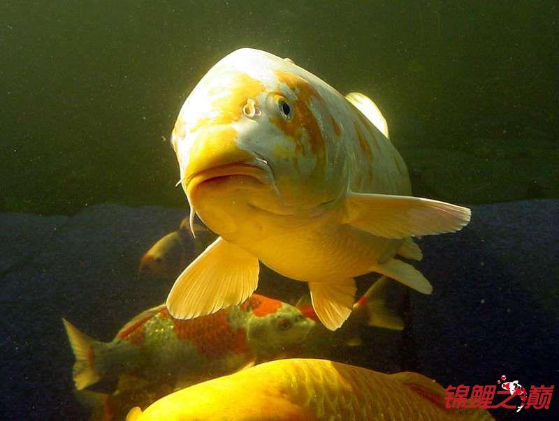 锦鲤鱼的周末生活 烟台观赏鱼 烟台龙鱼第6张