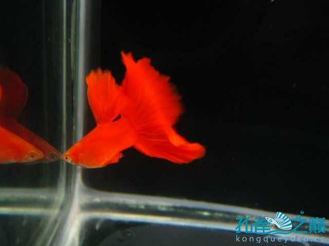 全渭南生态鱼缸红白子孔雀鱼 渭南水族批发市场 渭南龙鱼第1张