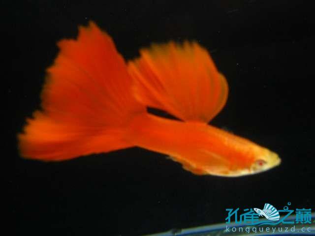 全渭南生态鱼缸红白子孔雀鱼 渭南水族批发市场 渭南龙鱼第2张