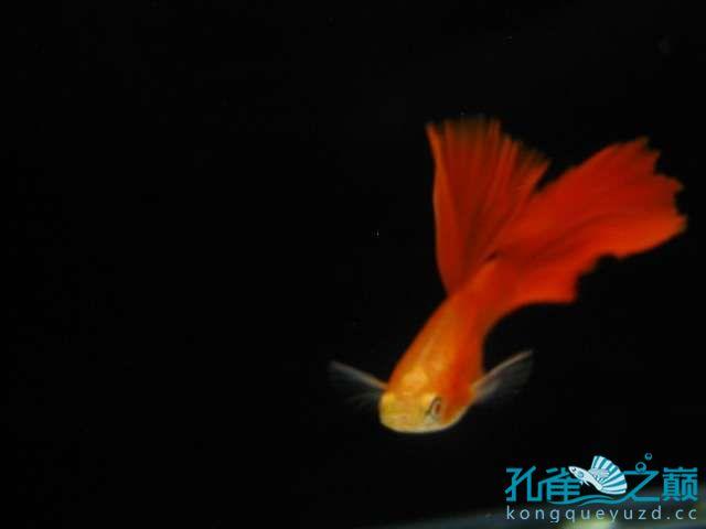 全渭南生态鱼缸红白子孔雀鱼 渭南水族批发市场 渭南龙鱼第3张