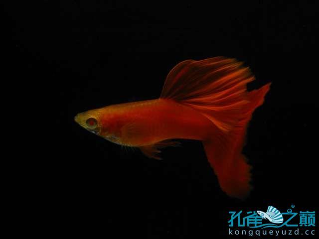 全渭南生态鱼缸红白子孔雀鱼 渭南水族批发市场 渭南龙鱼第4张