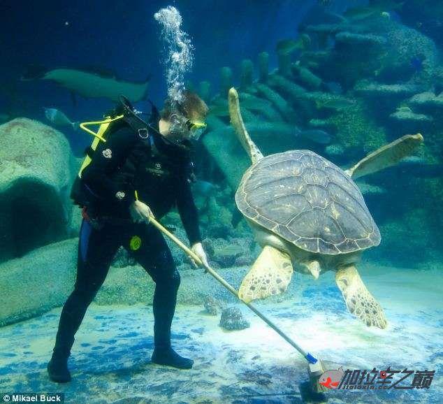 今天不发加拉辛拉周末了欣赏一下有趣的外国水族关幽默的清洁员