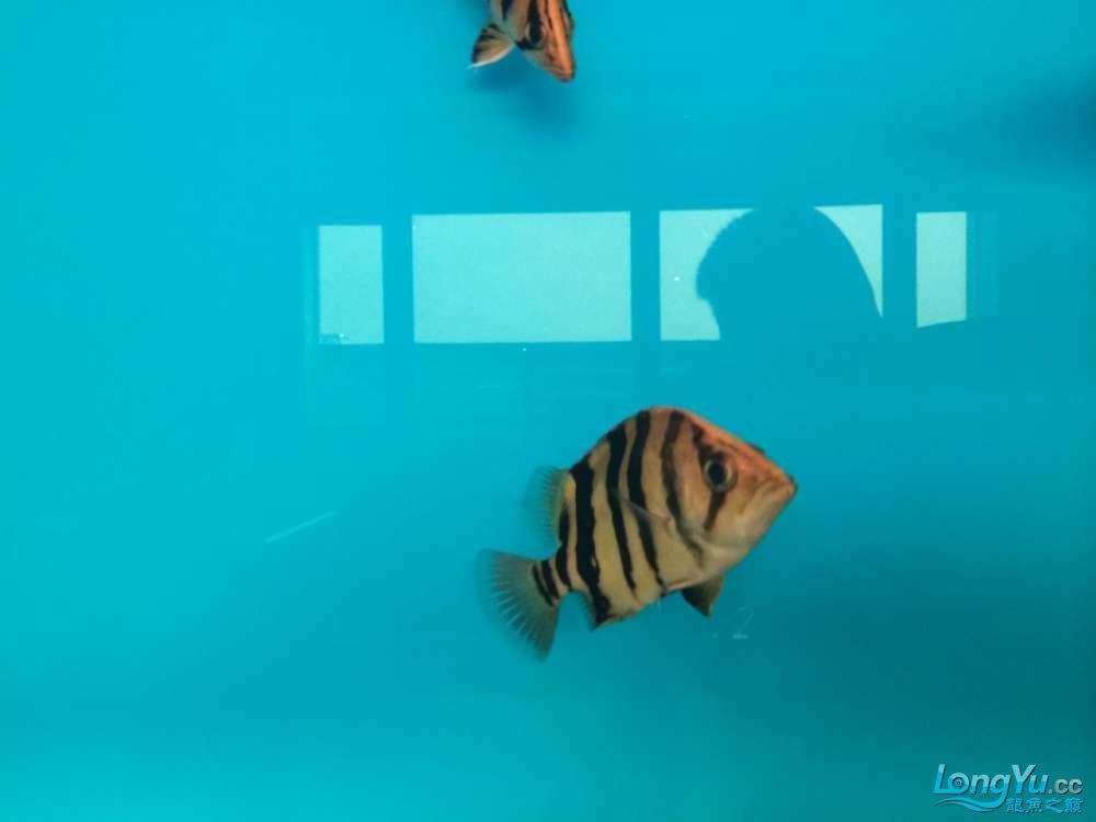 寄养在别人那里的老虎回来了希望这次他们能够适应十五条养着看吧有点杂 西宁龙鱼论坛 西宁龙鱼第20张