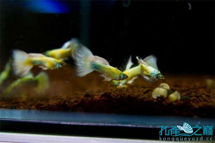 我的孔雀鱼爱鱼 贵阳水族批发市场 贵阳龙鱼第1张