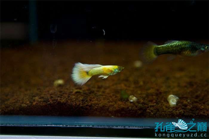 我的孔雀鱼爱鱼 贵阳水族批发市场 贵阳龙鱼第4张