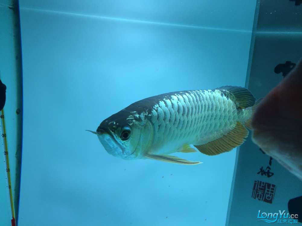 成都热带鱼早早起来拍拍你 成都水族批发市场 成都龙鱼第8张