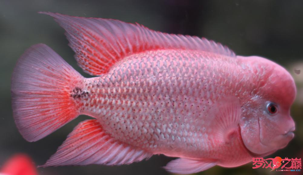 上几张紫衣图片 沈阳水族批发市场 沈阳龙鱼第1张