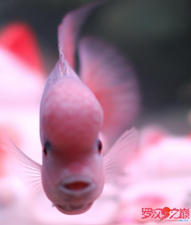 上几张紫衣图片 沈阳水族批发市场 沈阳龙鱼第2张