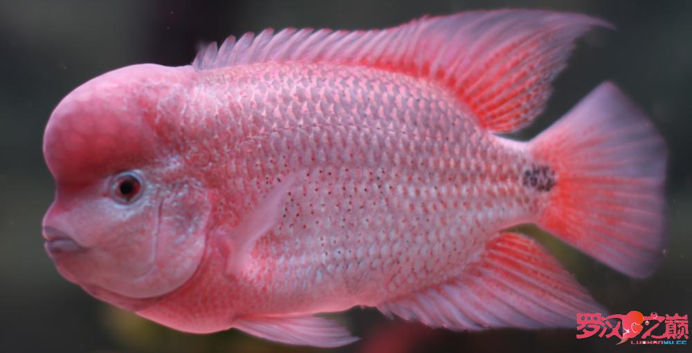 上几张紫衣图片 沈阳水族批发市场 沈阳龙鱼第3张