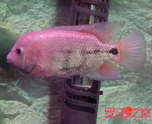 上几张紫衣图片 沈阳水族批发市场 沈阳龙鱼第6张