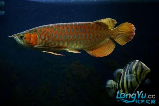 和谐的红石家庄鱼缸清洗龙印尼混养 石家庄水族批发市场 石家庄龙鱼第3张