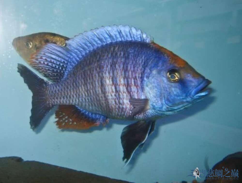 三湖慈鲷求朋友告知名字银川帝王三间鼠鱼哪个店的最好 银川龙鱼论坛 银川龙鱼第1张