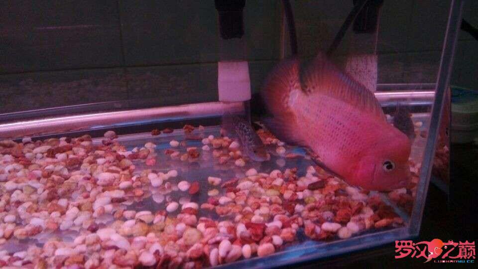 这条小罗真是太给力了 渭南水族批发市场 渭南龙鱼第5张