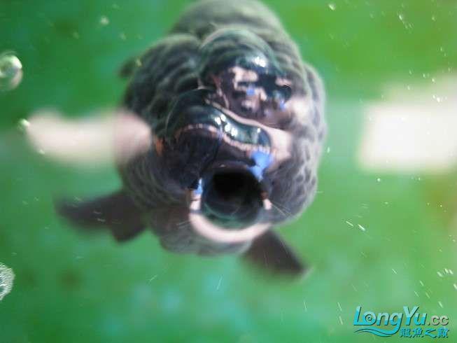六载春秋与你同行+龙鱼之巅伴我走过的养鱼路 长沙龙鱼论坛 长沙龙鱼第5张