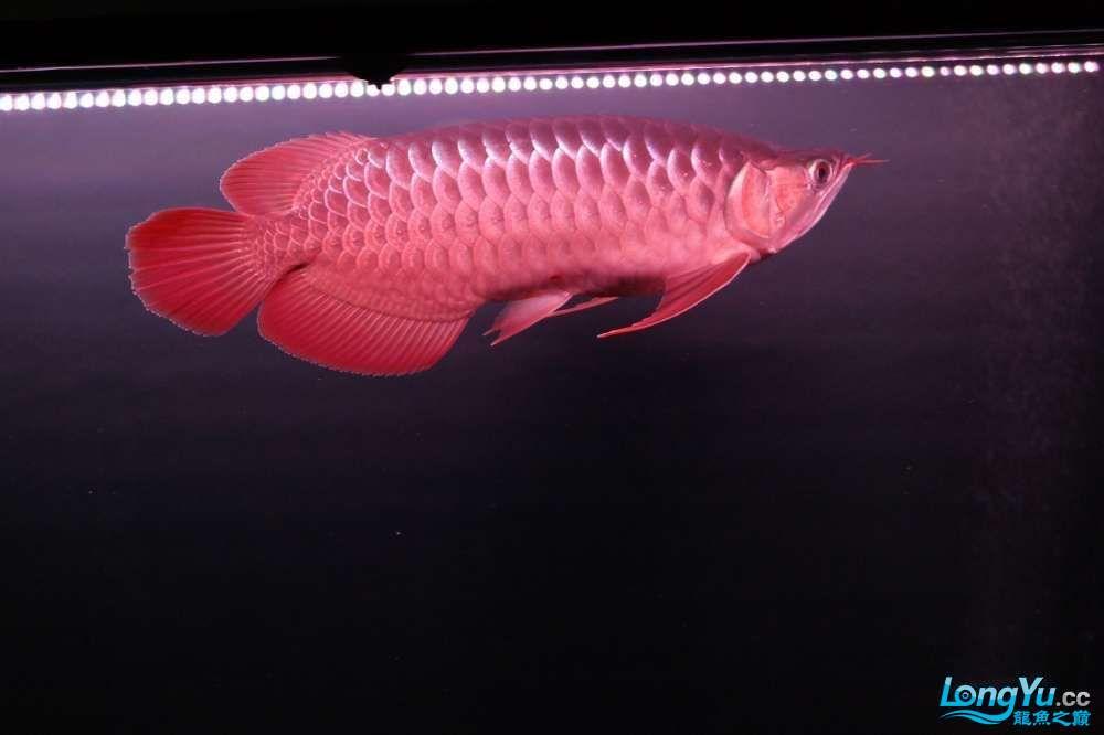 六载春秋与你同行+龙鱼之巅伴我走过的养鱼路 长沙龙鱼论坛 长沙龙鱼第17张