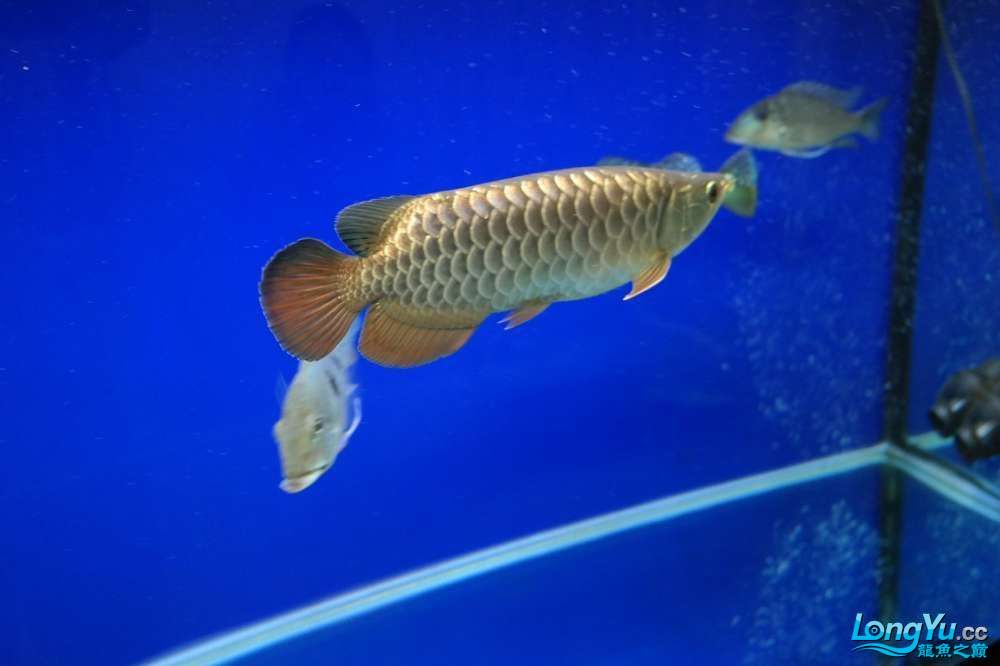 六载春秋与你同行+龙鱼之巅伴我走过的养鱼路 长沙龙鱼论坛 长沙龙鱼第18张