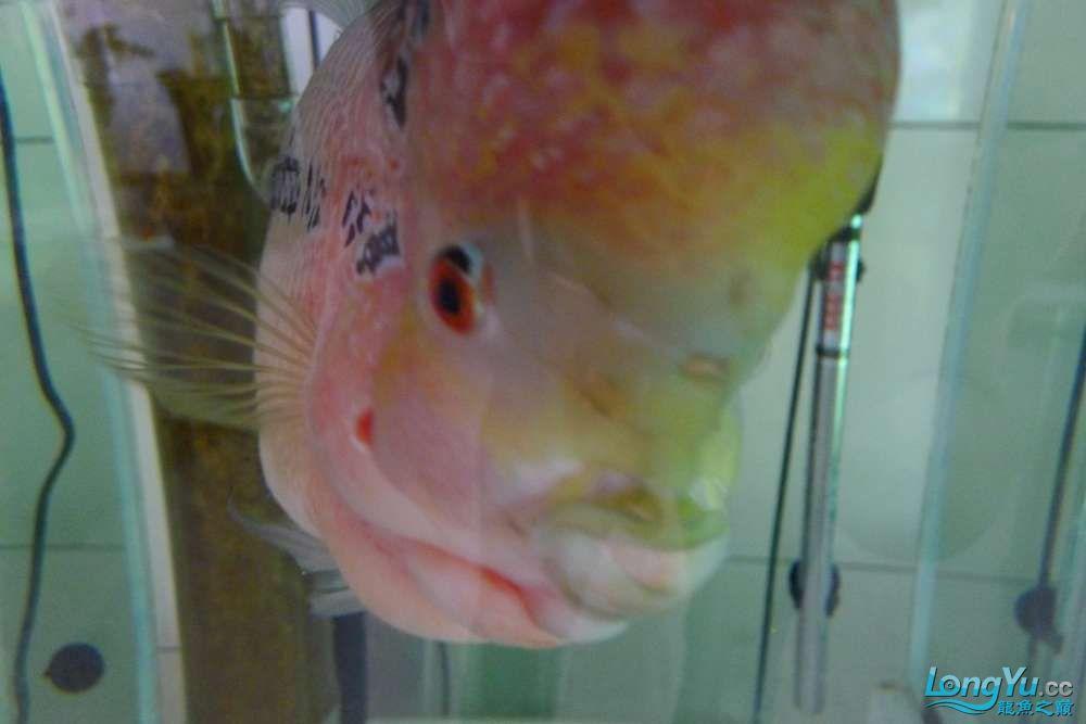 罗汉长头洞了 贵阳水族批发市场 贵阳龙鱼第3张
