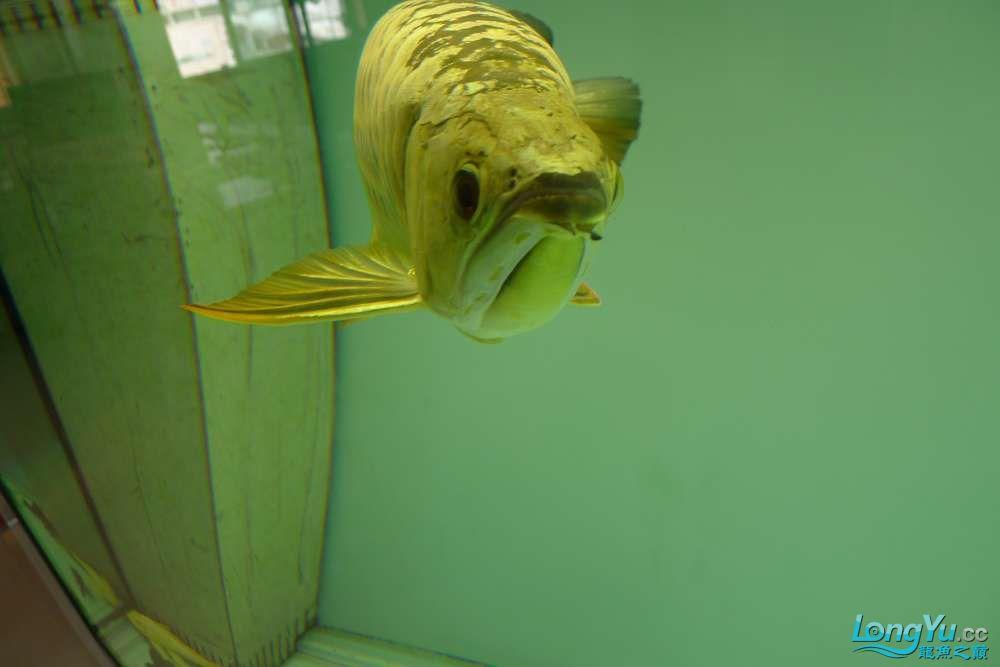 罗汉长头洞了 贵阳水族批发市场 贵阳龙鱼第8张